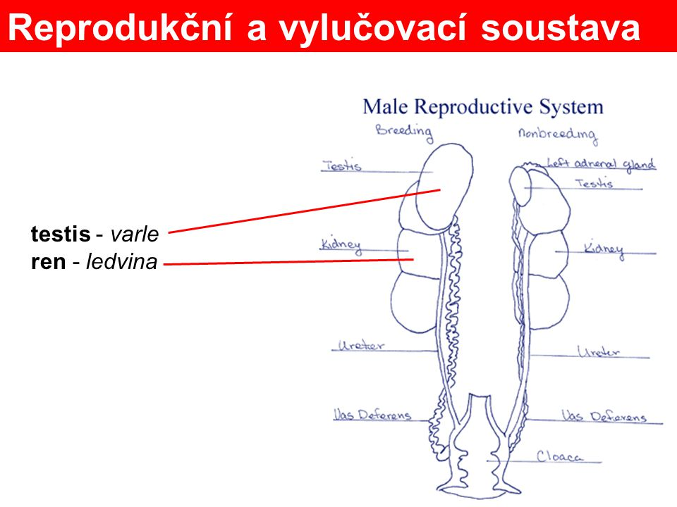 Reprodukční a vylučovací soustava