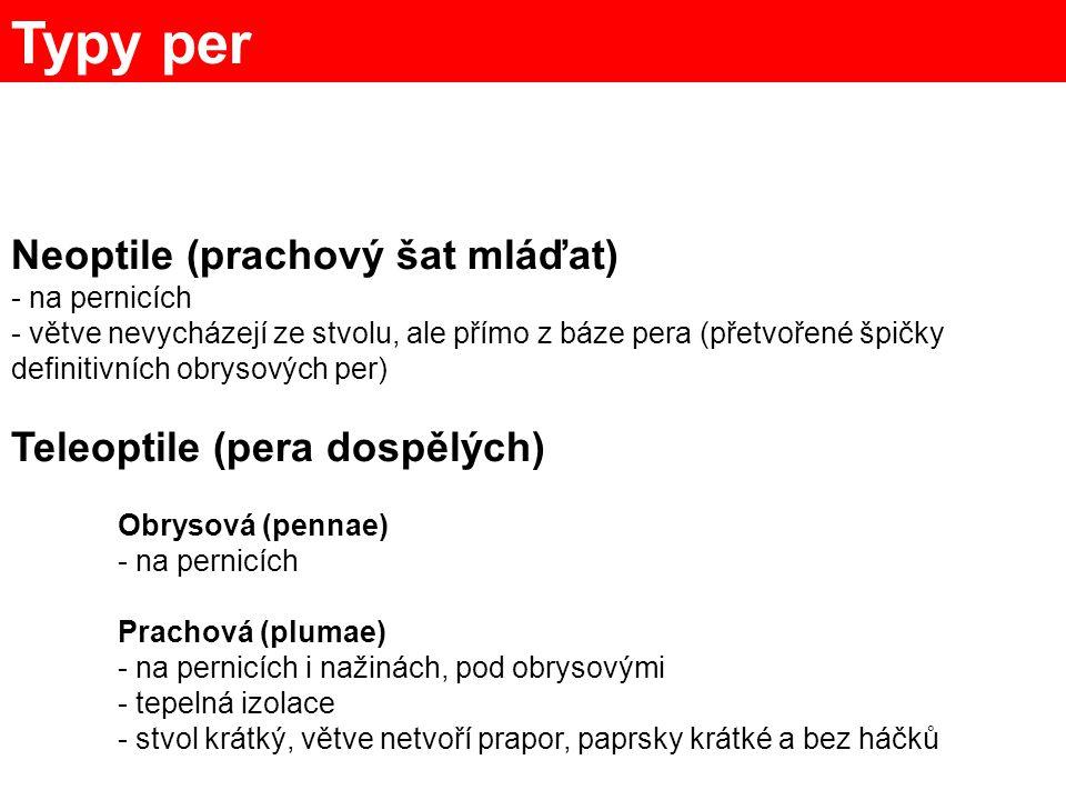 Typy per Neoptile (prachový šat mláďat) Teleoptile (pera dospělých)