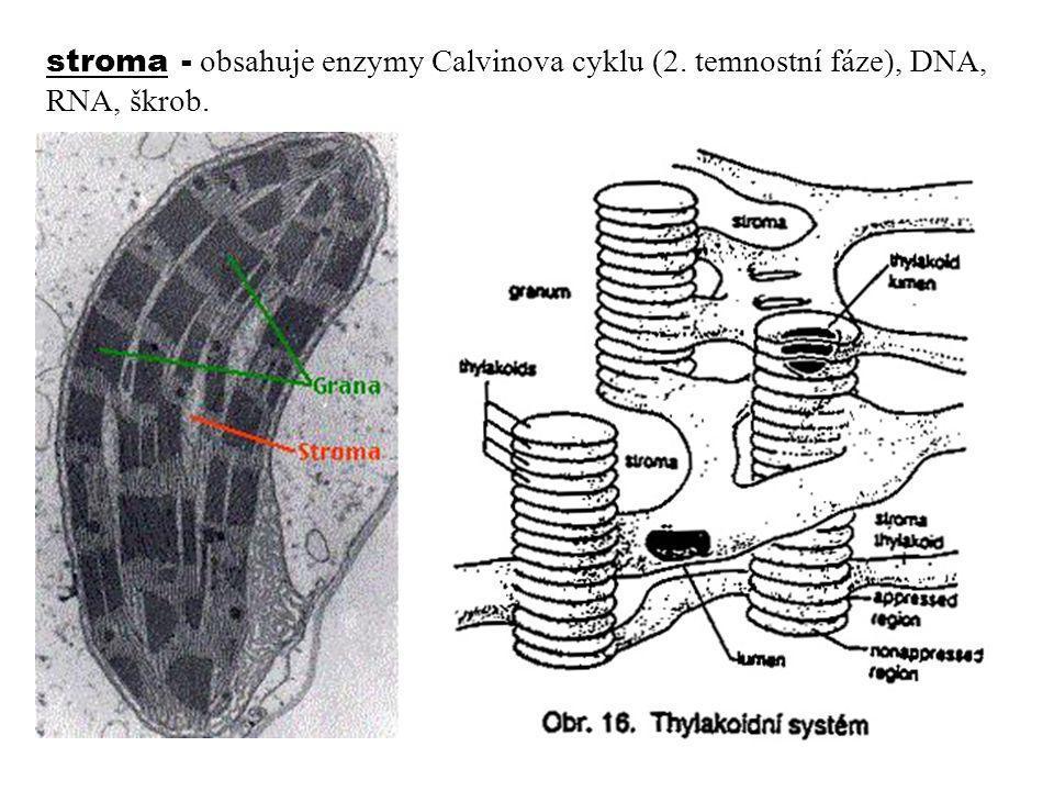 stroma - obsahuje enzymy Calvinova cyklu (2