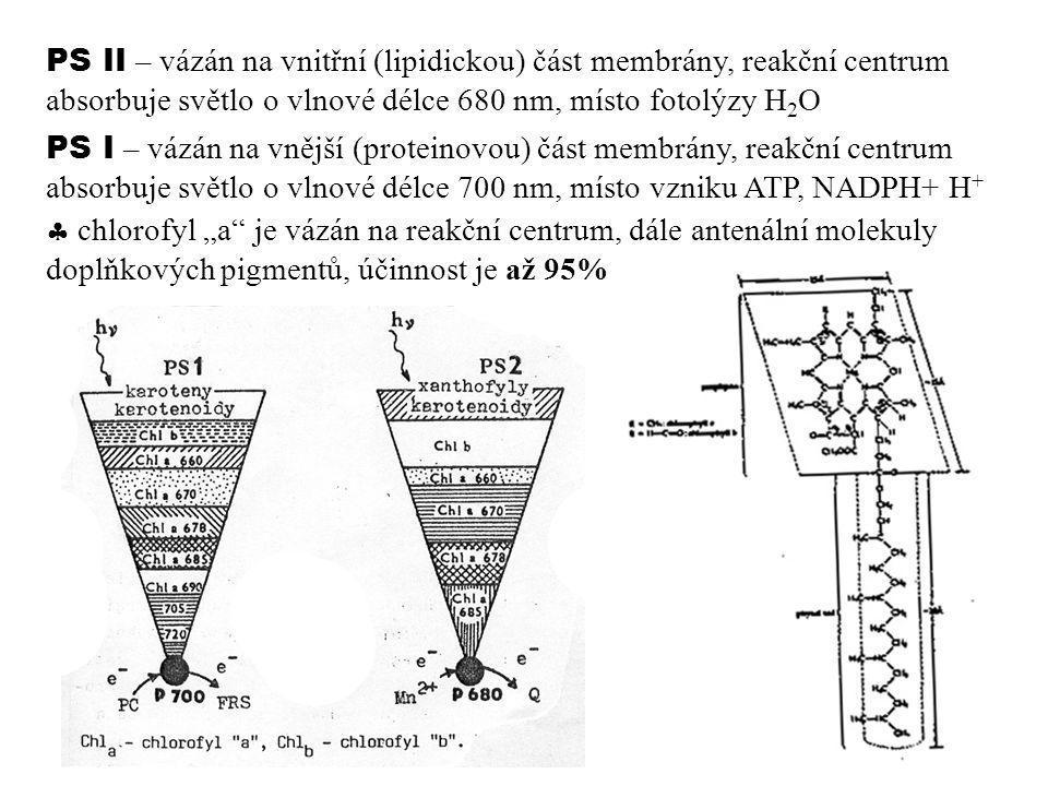 PS II – vázán na vnitřní (lipidickou) část membrány, reakční centrum absorbuje světlo o vlnové délce 680 nm, místo fotolýzy H2O