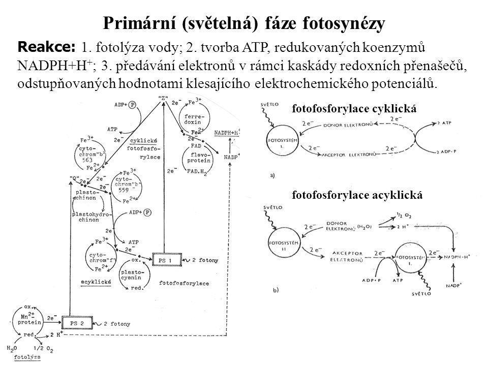 Primární (světelná) fáze fotosynézy