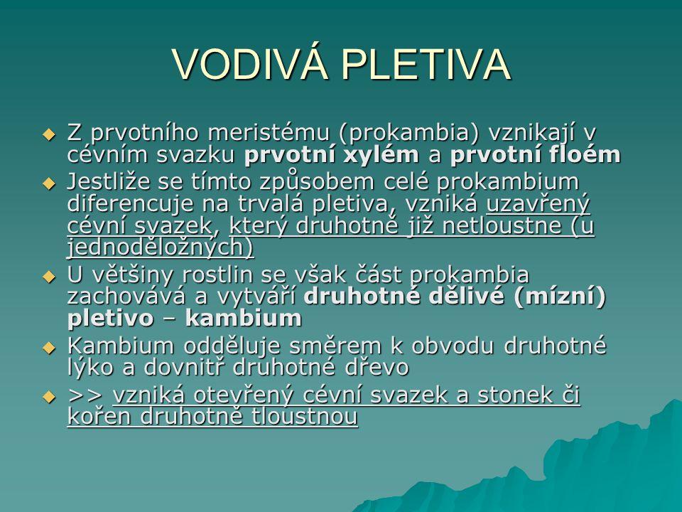 VODIVÁ PLETIVA Z prvotního meristému (prokambia) vznikají v cévním svazku prvotní xylém a prvotní floém.