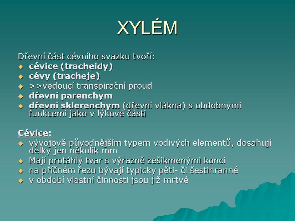 XYLÉM Dřevní část cévního svazku tvoří: cévice (tracheidy)