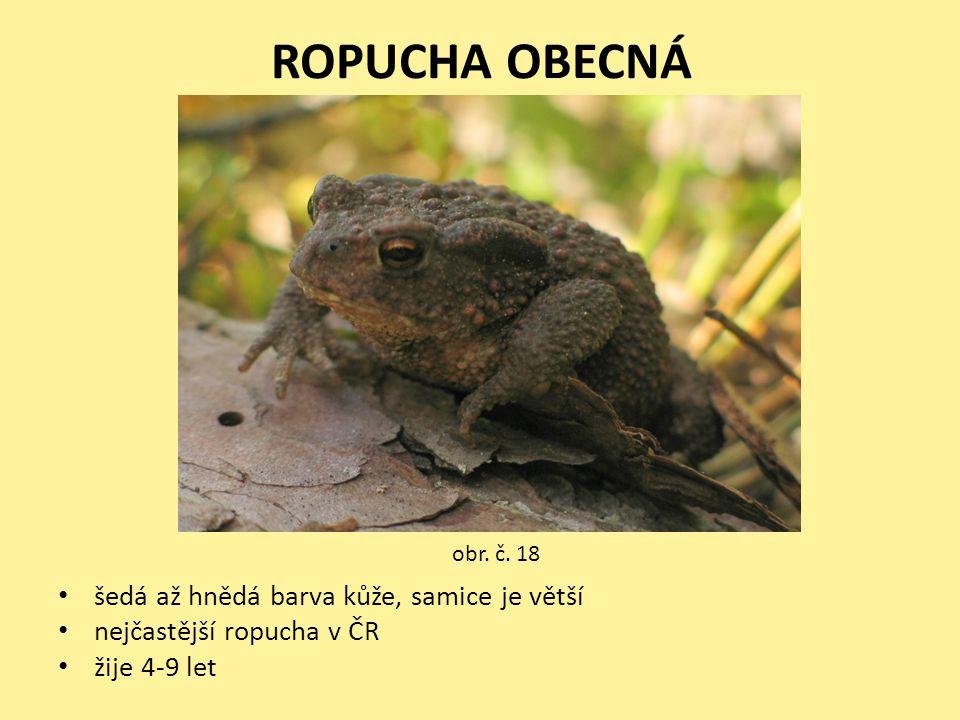 ROPUCHA OBECNÁ šedá až hnědá barva kůže, samice je větší