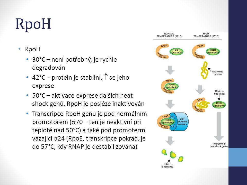 RpoH RpoH 30°C – není potřebný, je rychle degradován