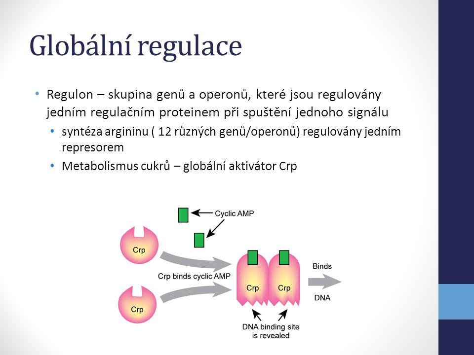 Globální regulace Regulon – skupina genů a operonů, které jsou regulovány jedním regulačním proteinem při spuštění jednoho signálu.