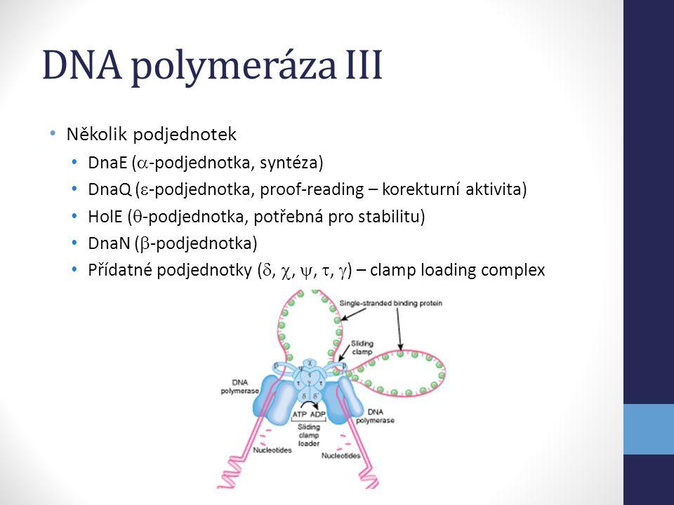DNA polymeráza III Několik podjednotek DnaE (-podjednotka, syntéza)