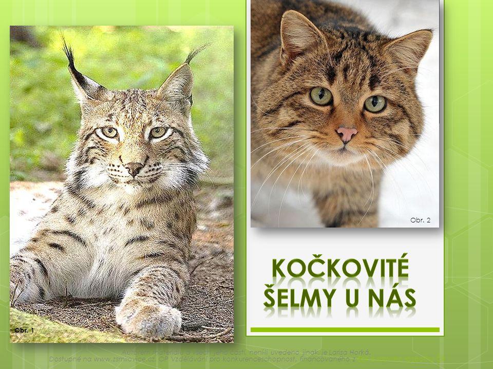 Kočkovité šelmy u nás Obr. 2 Obr. 1
