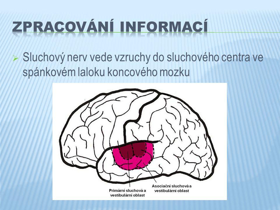 Zpracování informací Sluchový nerv vede vzruchy do sluchového centra ve spánkovém laloku koncového mozku.