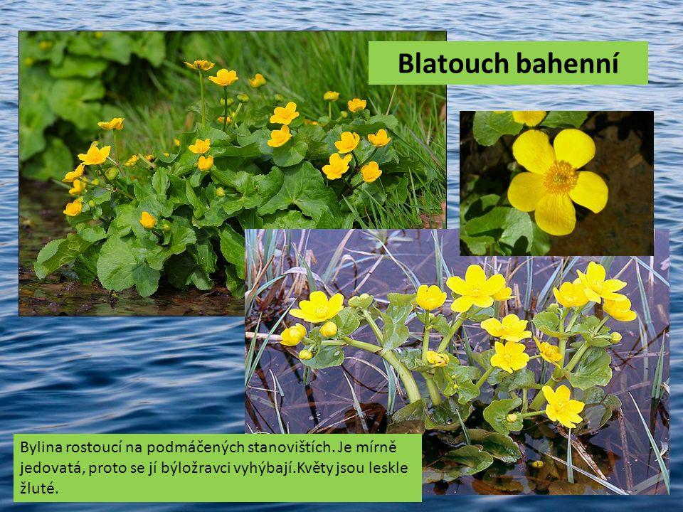 Blatouch bahenní Bylina rostoucí na podmáčených stanovištích.