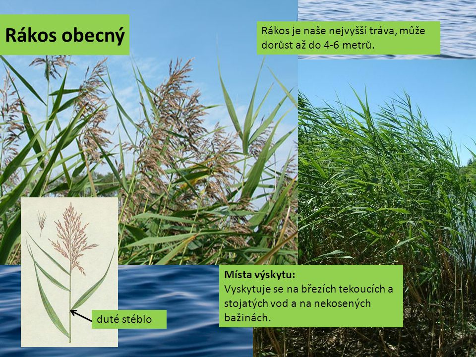 Rákos obecný Rákos je naše nejvyšší tráva, může dorůst až do 4-6 metrů.