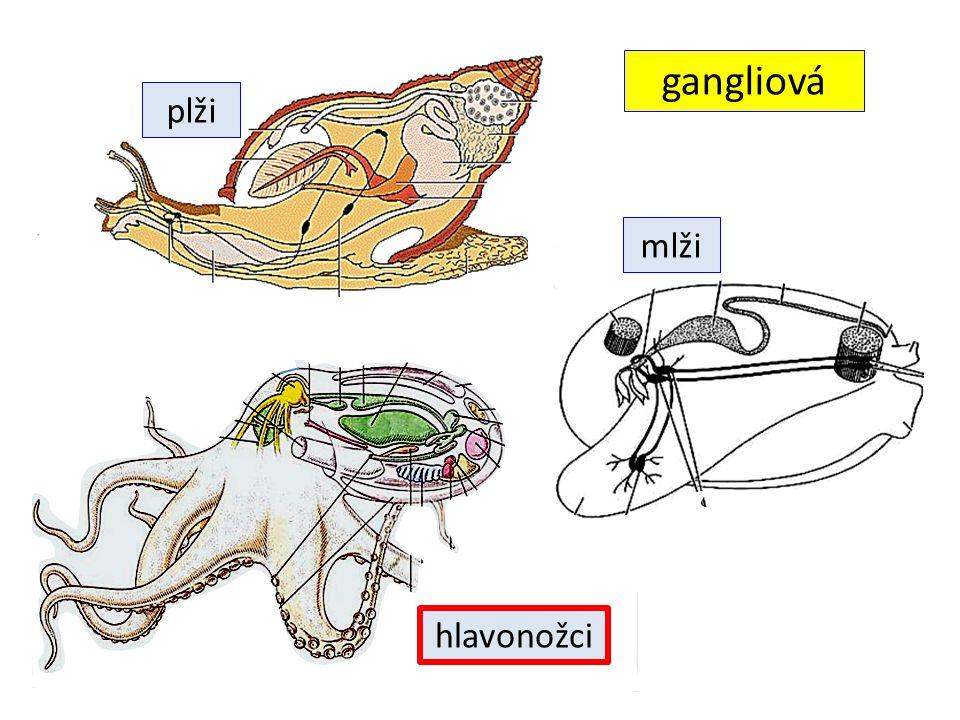 gangliová plži mlži hlavonožci