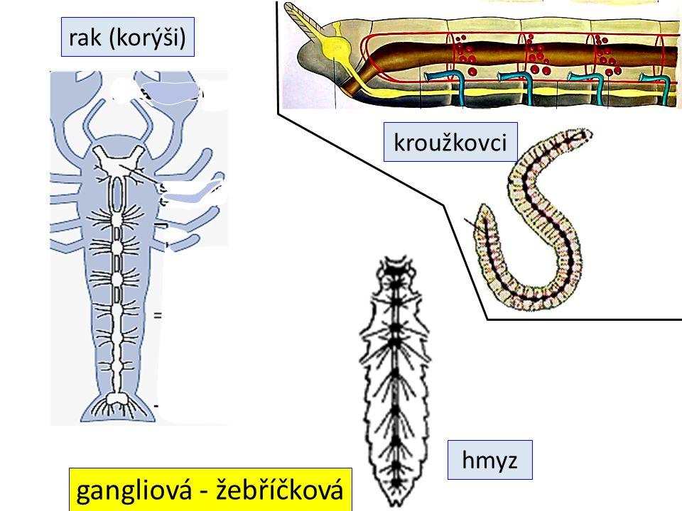 gangliová - žebříčková