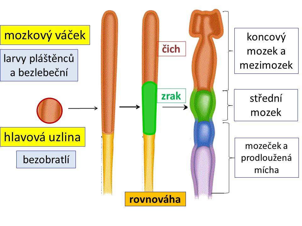 mozkový váček hlavová uzlina koncový mozek a mezimozek čich