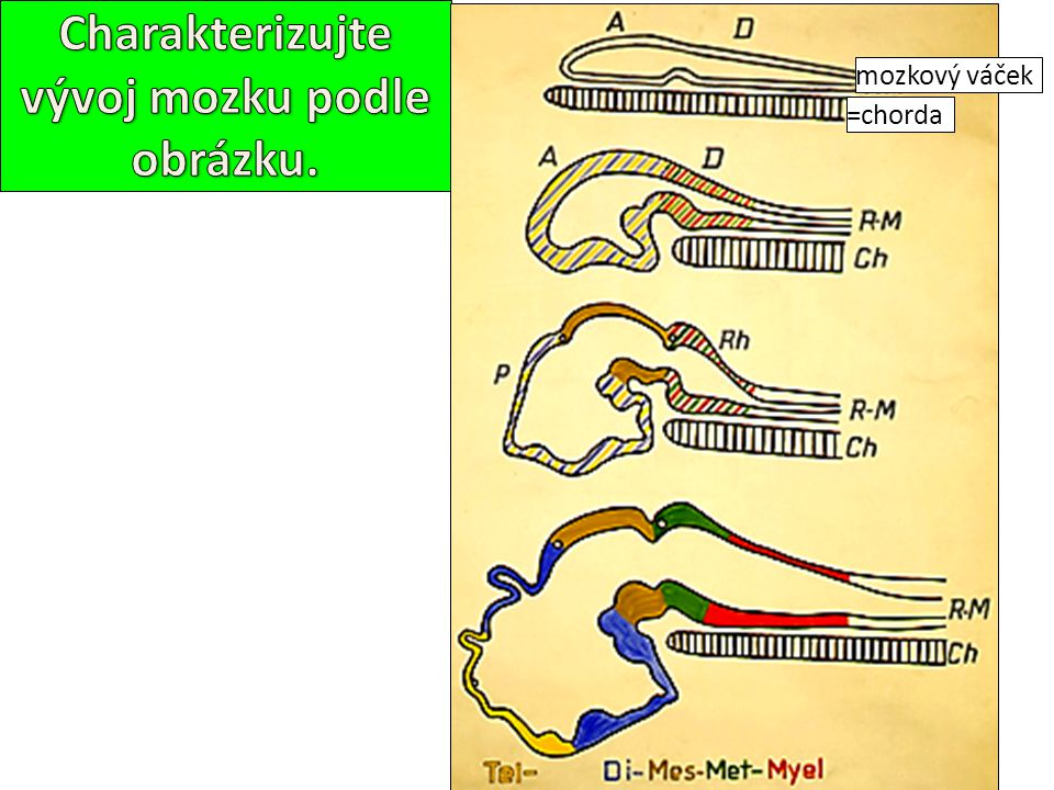 Charakterizujte vývoj mozku podle obrázku.