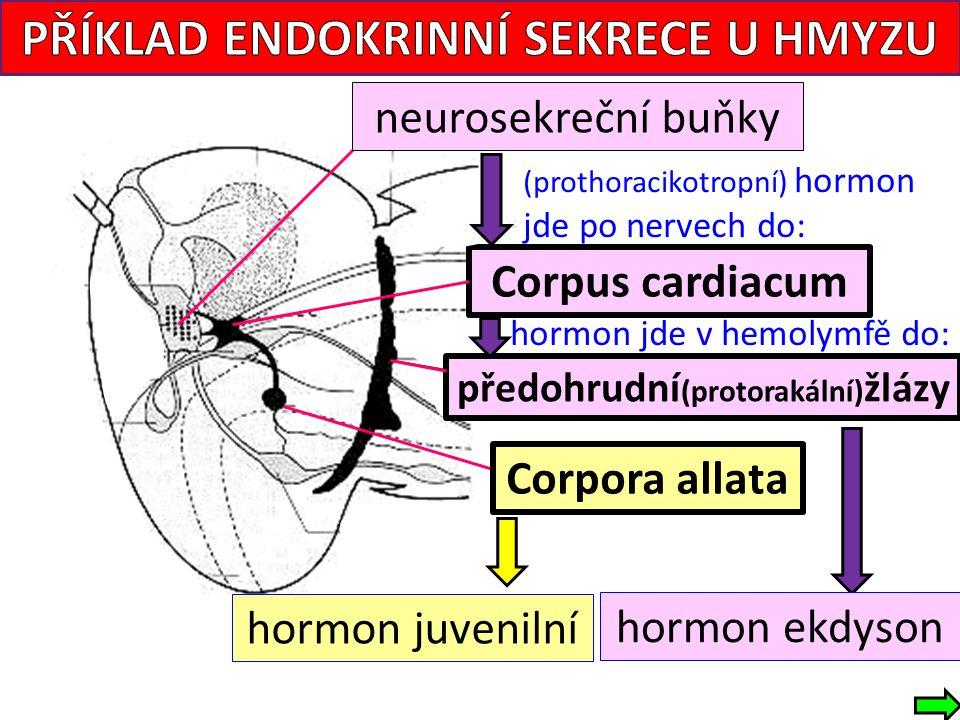 PŘÍKLAD ENDOKRINNÍ SEKRECE U HMYZU předohrudní(protorakální)žlázy