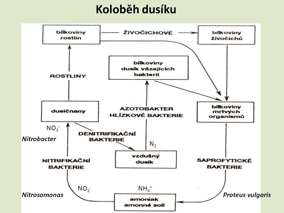 Koloběh dusíku NO3- Nitrobacter N2 NO2- NH4+ Nitrosomonas