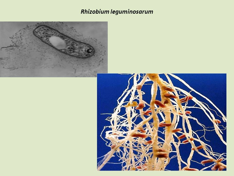 Rhizobium leguminosarum