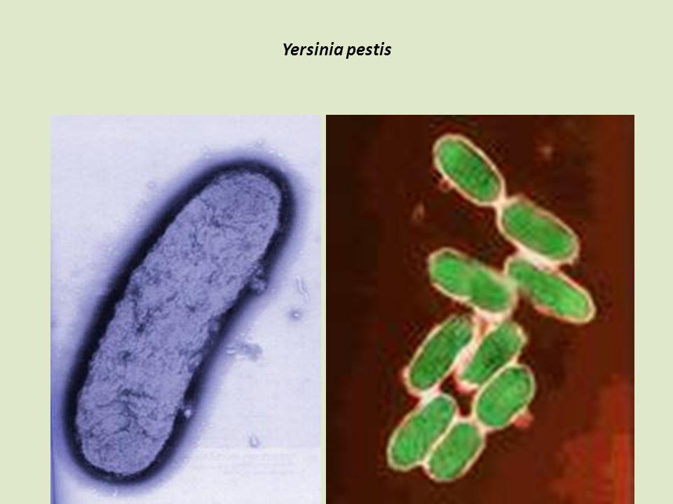 Yersinia pestis 34