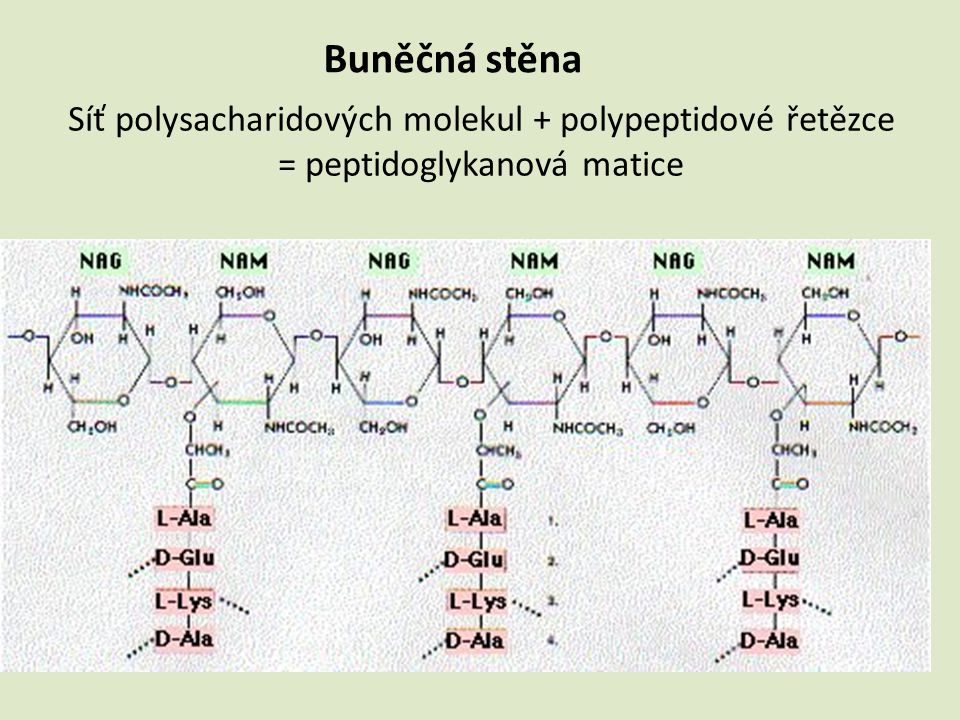 Buněčná stěna Síť polysacharidových molekul + polypeptidové řetězce = peptidoglykanová matice