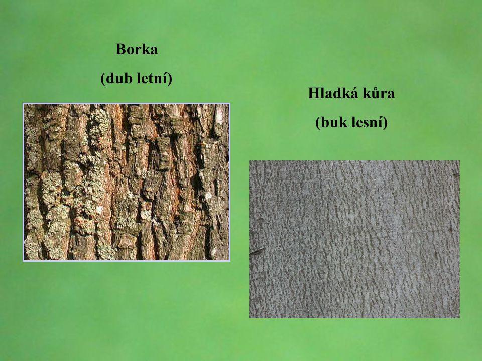 Borka (dub letní) Hladká kůra (buk lesní)