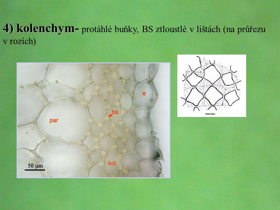 4) kolenchym- protáhlé buňky, BS ztloustlé v lištách (na průřezu v rozích)