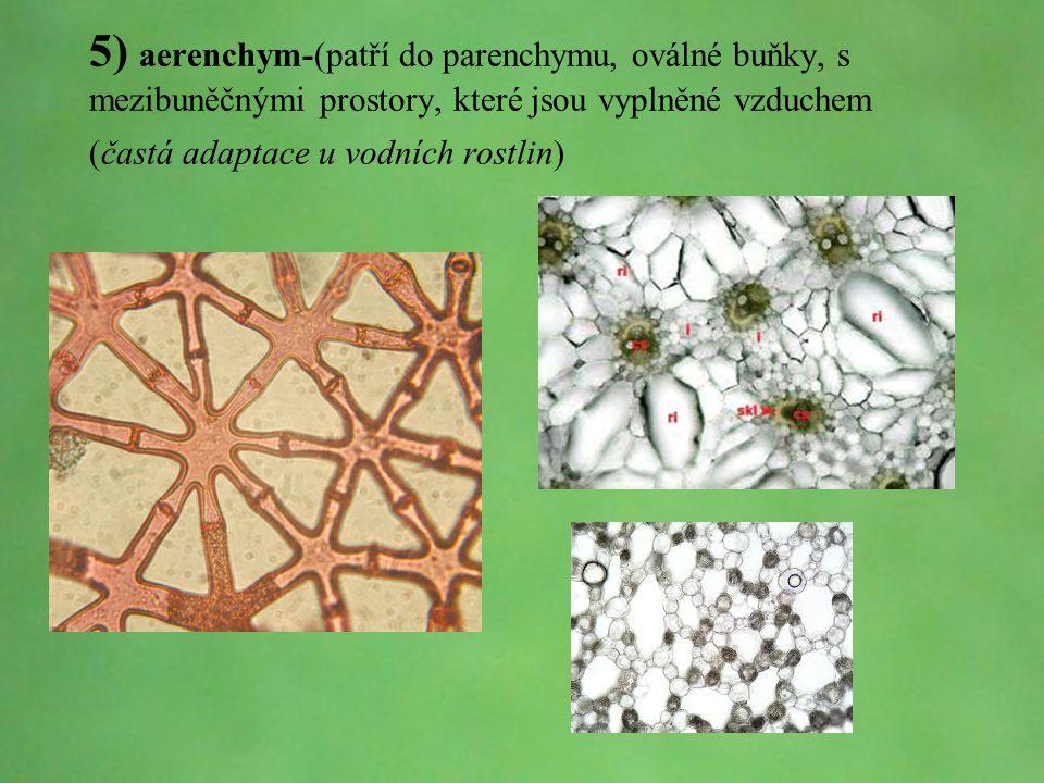 5) aerenchym-(patří do parenchymu, oválné buňky, s mezibuněčnými prostory, které jsou vyplněné vzduchem (častá adaptace u vodních rostlin)