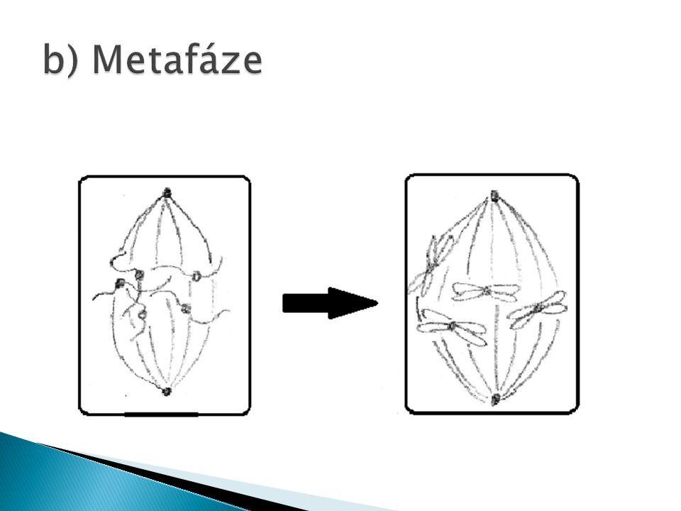 b) Metafáze