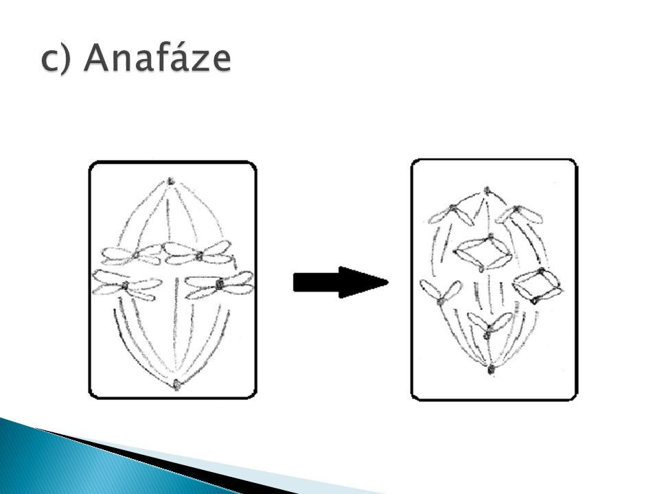 c) Anafáze