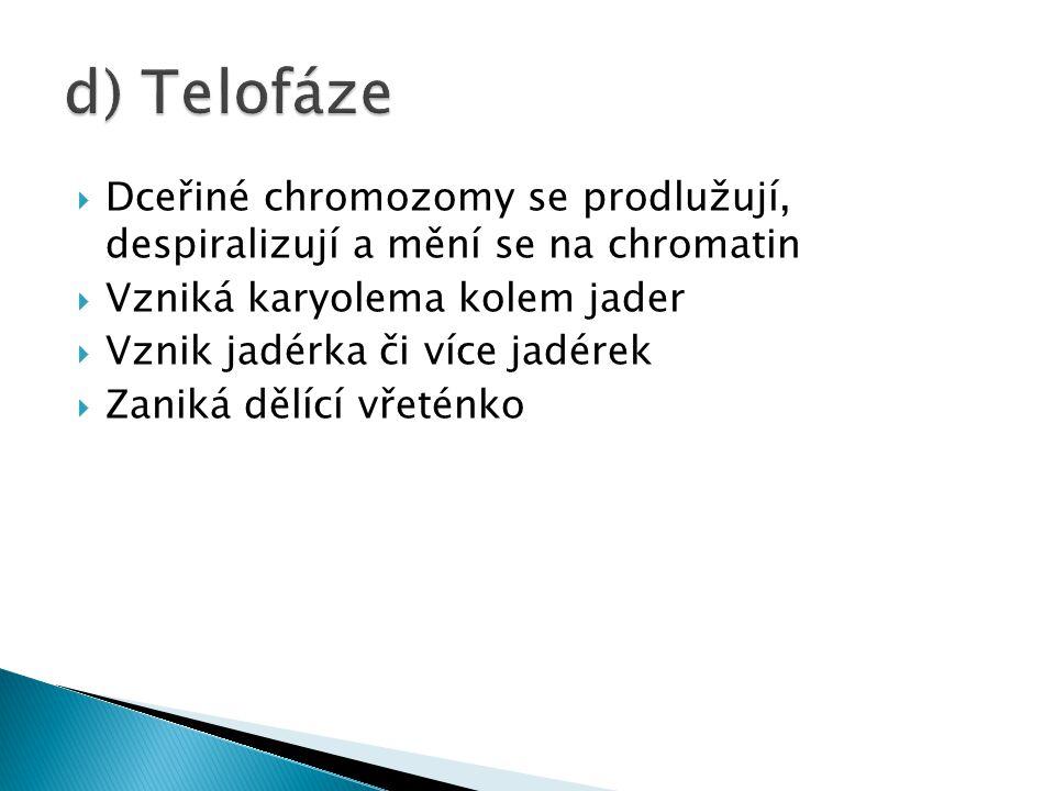 d) Telofáze Dceřiné chromozomy se prodlužují, despiralizují a mění se na chromatin. Vzniká karyolema kolem jader.