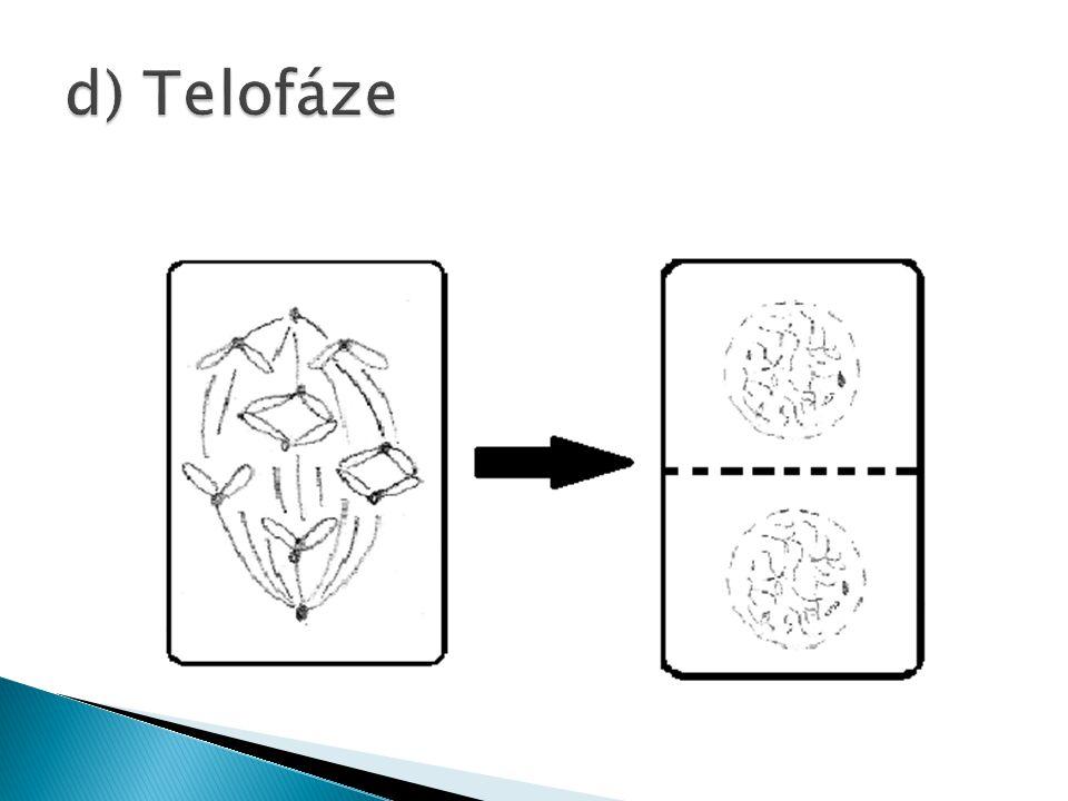 d) Telofáze