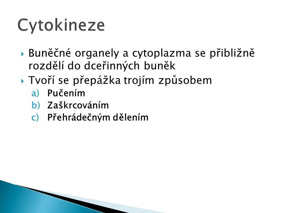 Cytokineze Buněčné organely a cytoplazma se přibližně rozdělí do dceřinných buněk. Tvoří se přepážka trojím způsobem.