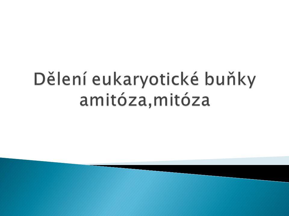 Dělení eukaryotické buňky amitóza,mitóza