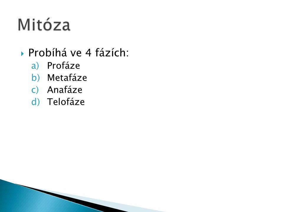 Mitóza Probíhá ve 4 fázích: Profáze Metafáze Anafáze Telofáze