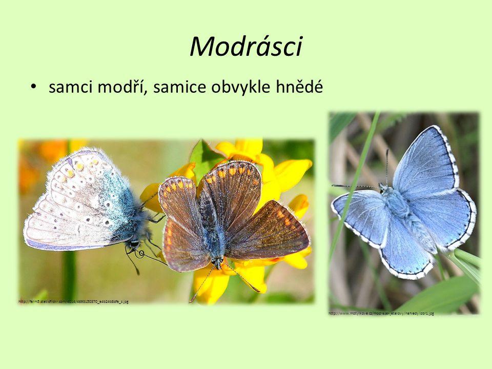 Modrásci samci modří, samice obvykle hnědé