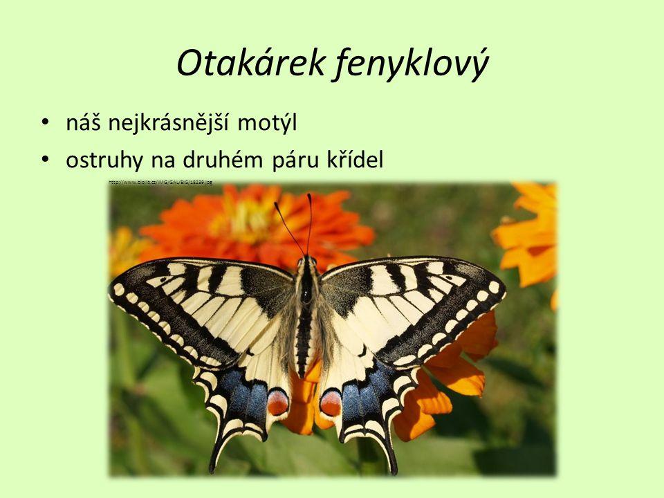 Otakárek fenyklový náš nejkrásnější motýl