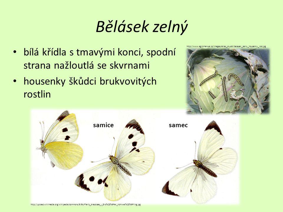 Bělásek zelný bílá křídla s tmavými konci, spodní strana nažloutlá se skvrnami. housenky škůdci brukvovitých rostlin.