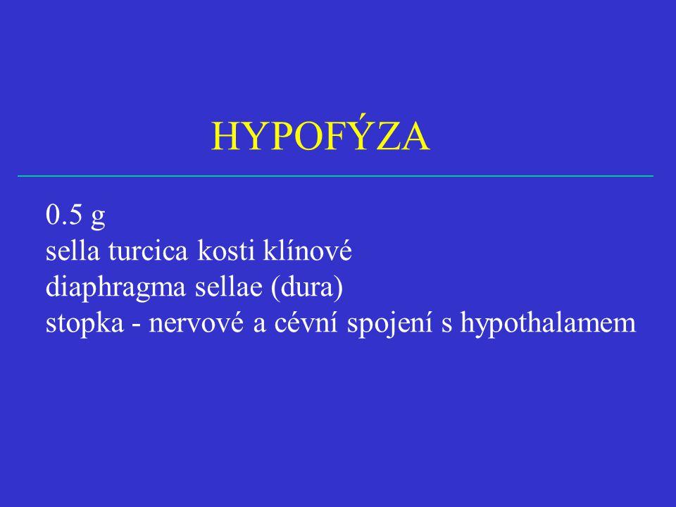 HYPOFÝZA 0.5 g sella turcica kosti klínové diaphragma sellae (dura)