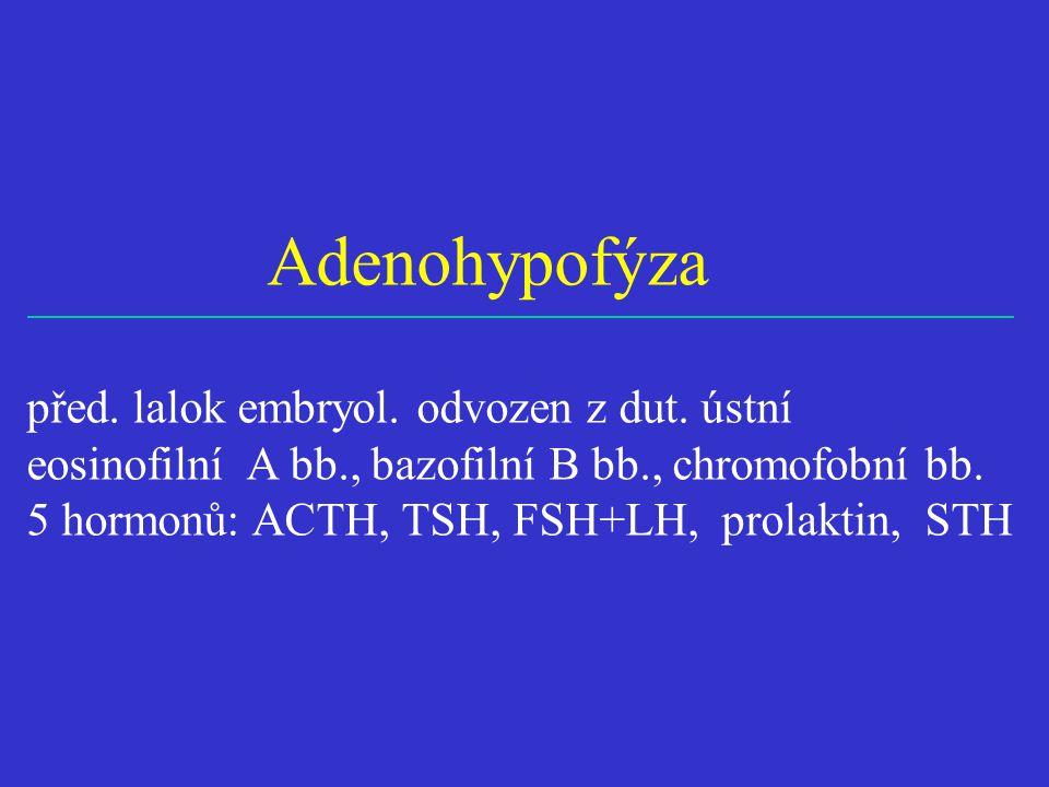 Adenohypofýza před. lalok embryol. odvozen z dut. ústní