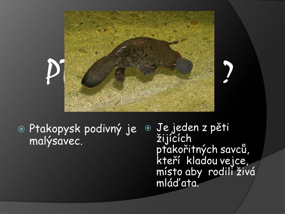 CO VÍME O PTAKOPYSKOVI Ptakopysk podivný je malýsavec.
