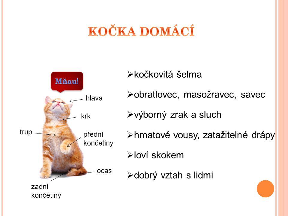KOČKA DOMÁCÍ kočkovitá šelma obratlovec, masožravec, savec