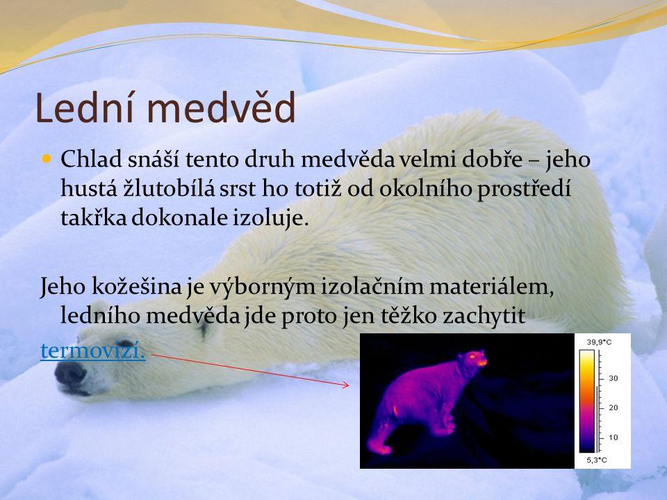 Lední medvěd Chlad snáší tento druh medvěda velmi dobře – jeho hustá žlutobílá srst ho totiž od okolního prostředí takřka dokonale izoluje.