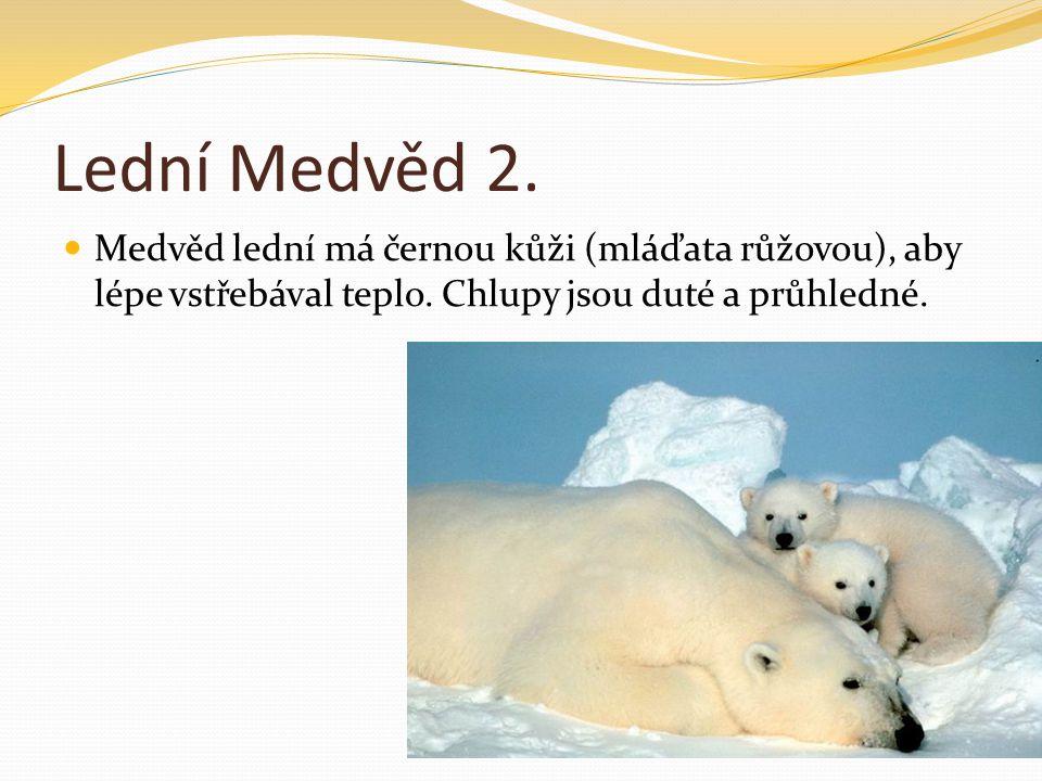 Lední Medvěd 2. Medvěd lední má černou kůži (mláďata růžovou), aby lépe vstřebával teplo.