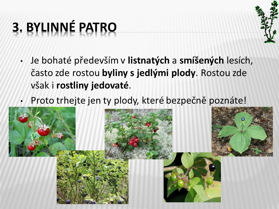 3. Bylinné patro Je bohaté především v listnatých a smíšených lesích, často zde rostou byliny s jedlými plody. Rostou zde však i rostliny jedovaté.