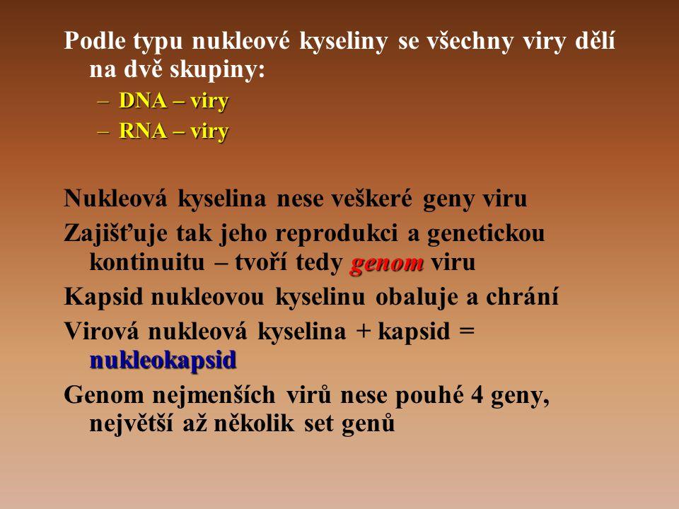 Podle typu nukleové kyseliny se všechny viry dělí na dvě skupiny:
