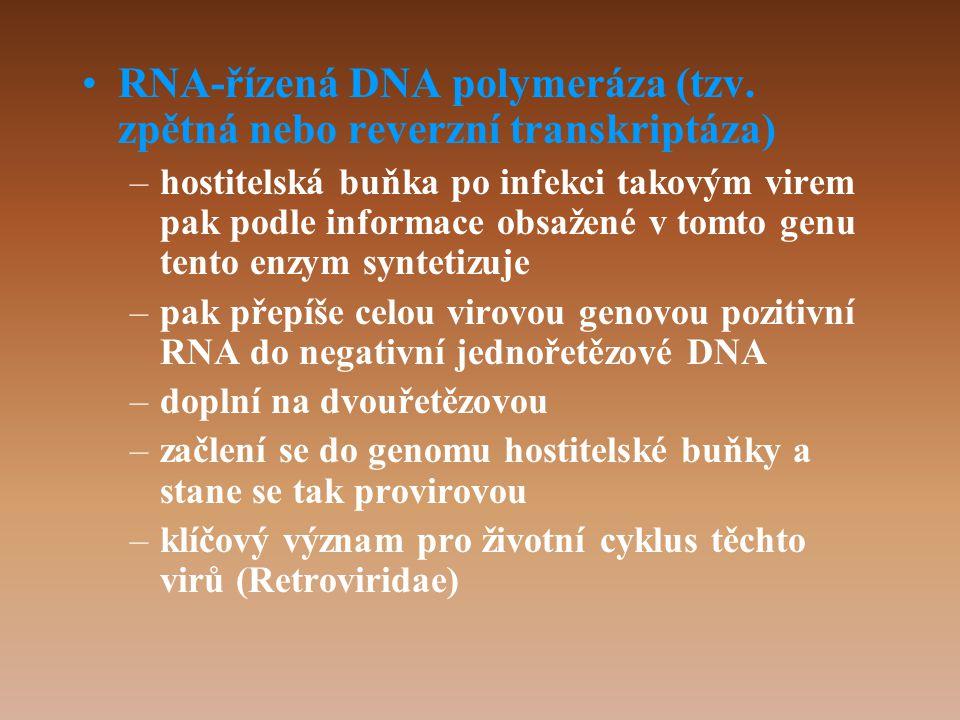 RNA-řízená DNA polymeráza (tzv. zpětná nebo reverzní transkriptáza)