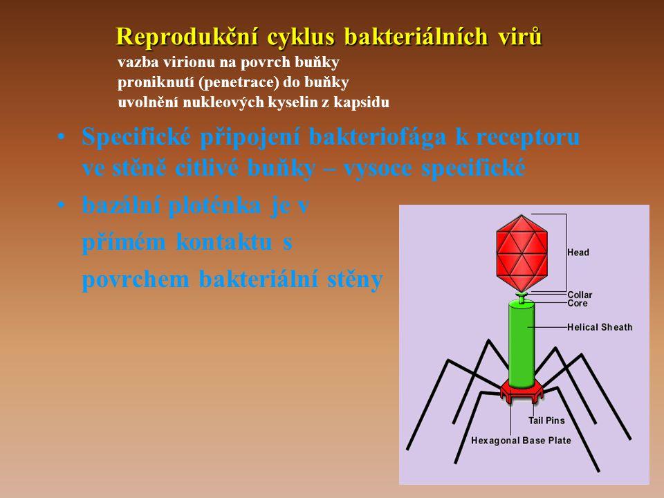 Reprodukční cyklus bakteriálních virů vazba virionu na povrch buňky proniknutí (penetrace) do buňky uvolnění nukleových kyselin z kapsidu