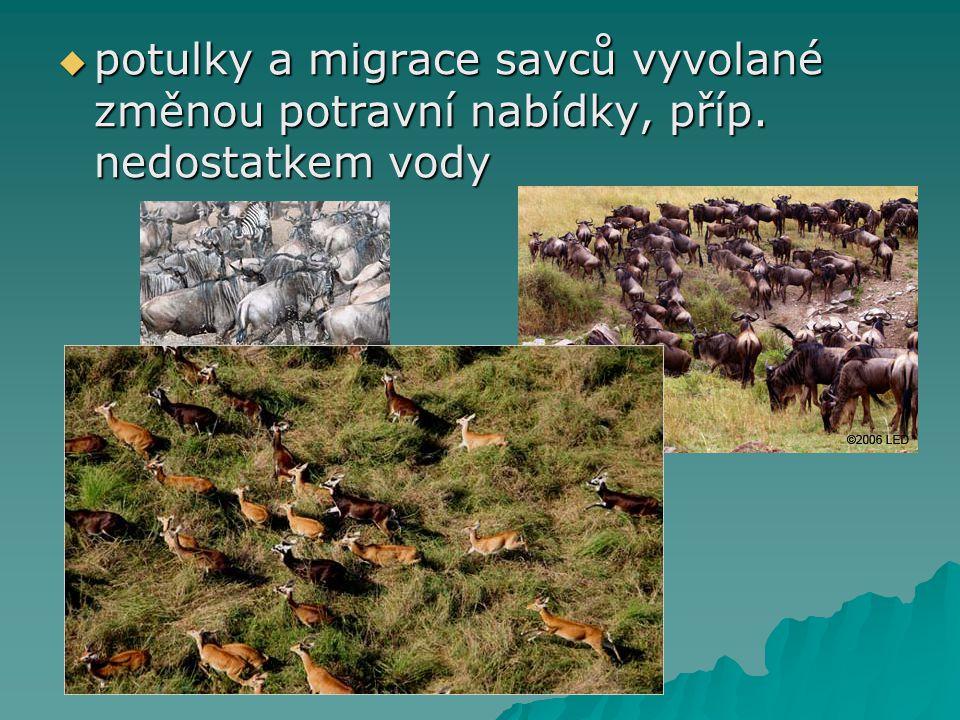 potulky a migrace savců vyvolané změnou potravní nabídky, příp