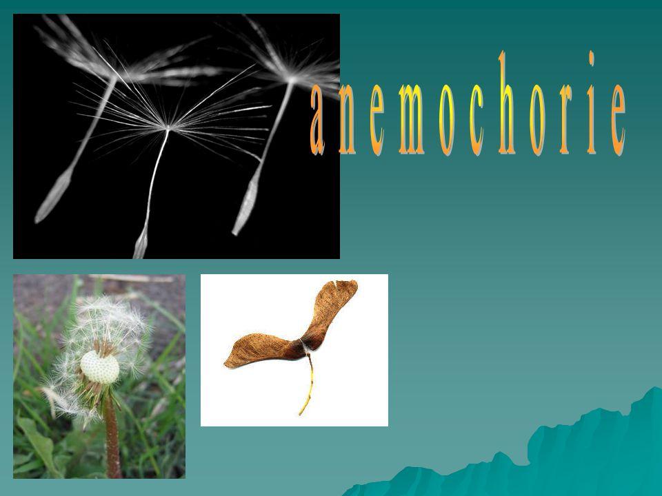 anemochorie