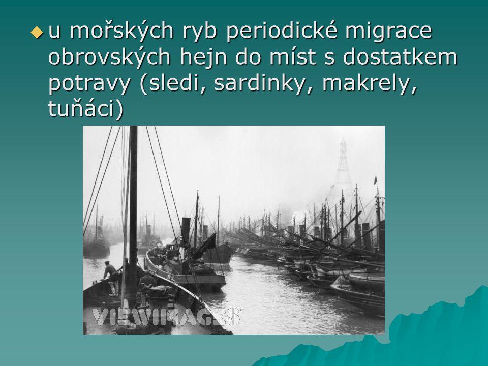 u mořských ryb periodické migrace obrovských hejn do míst s dostatkem potravy (sledi, sardinky, makrely, tuňáci)